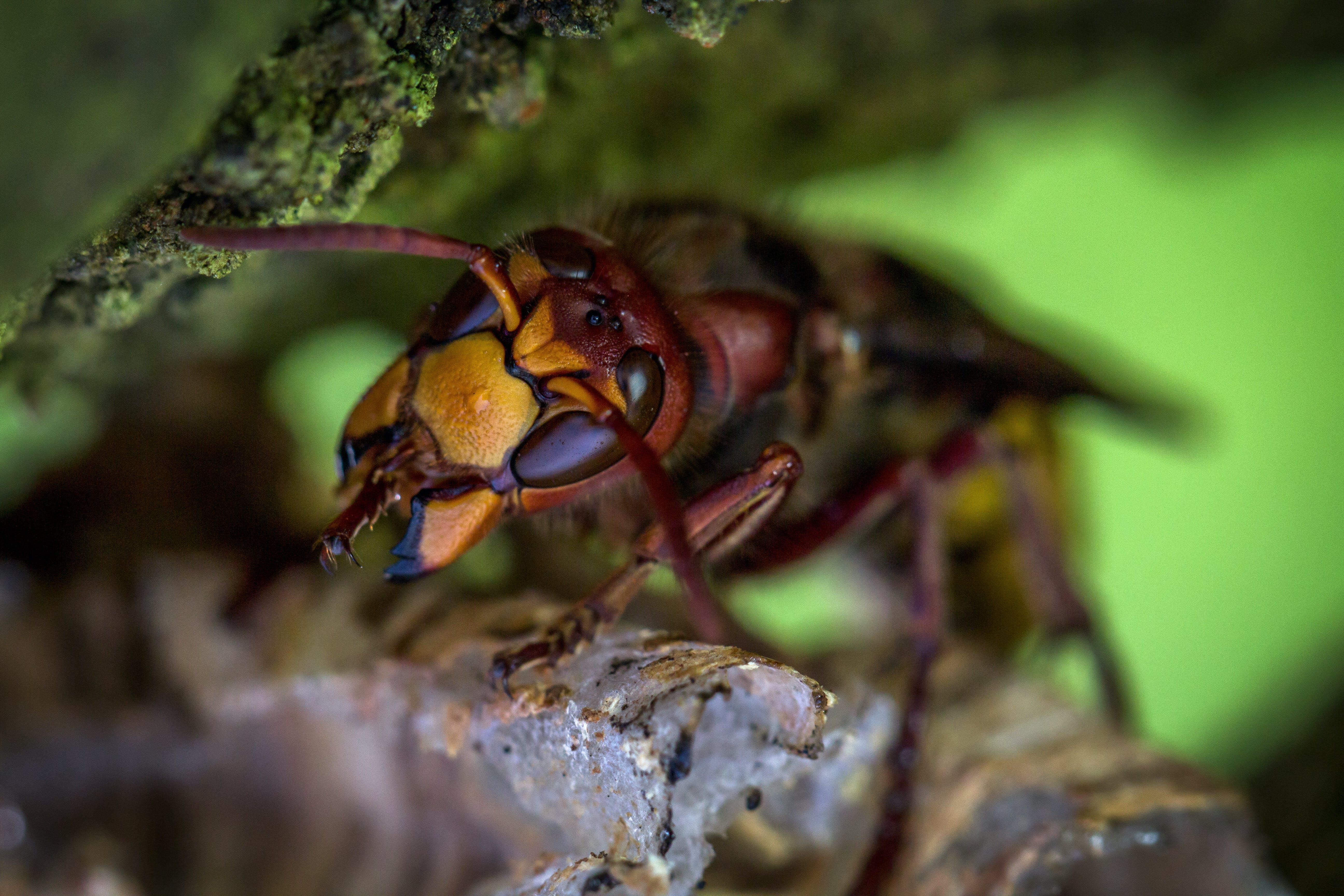 Hornet Macro Photography
