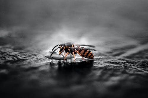 Gravid Yellow Jacket Wasp Closeup Photography