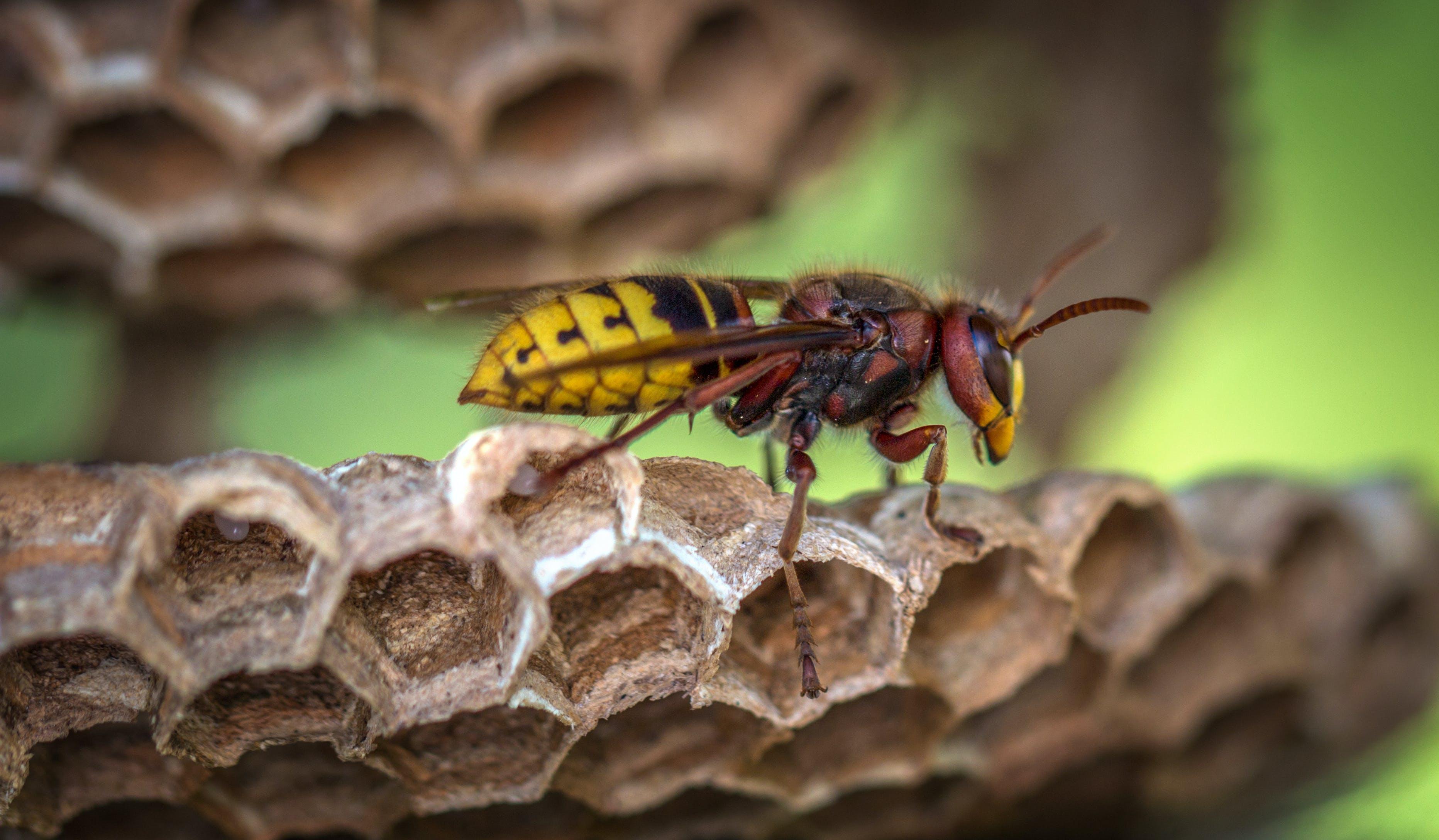 Yellow Jacket Wasp on Hive Closeup Photography