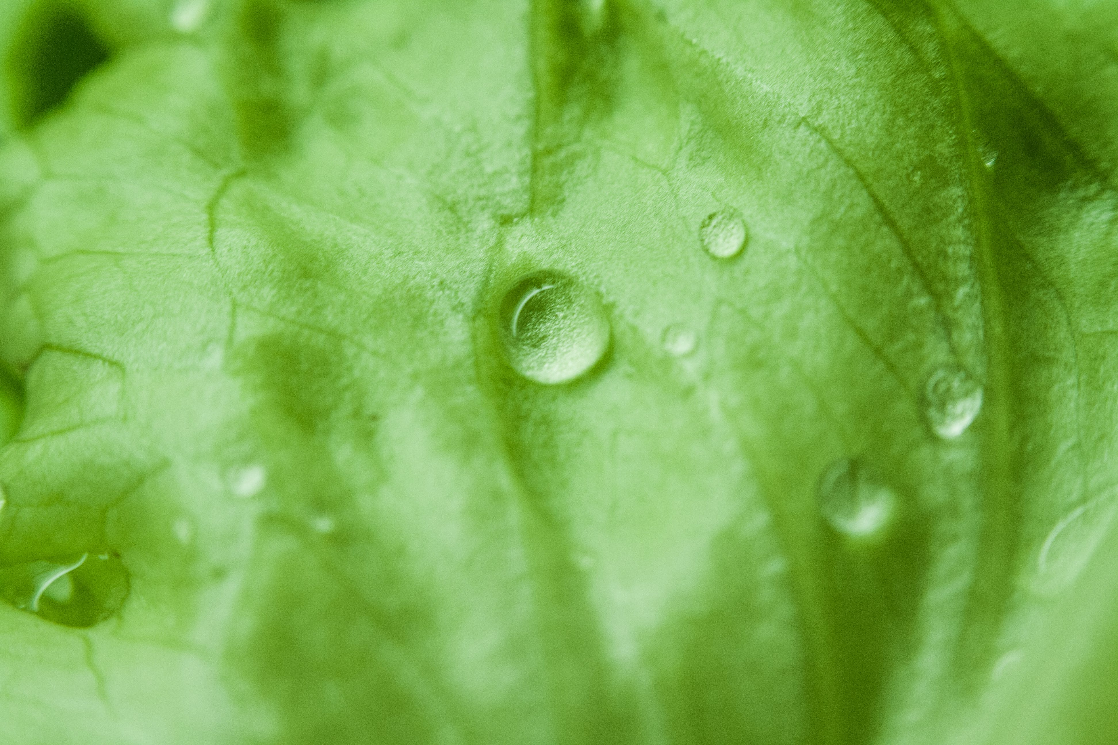 Green Leaf With Water Dew Focus Photography