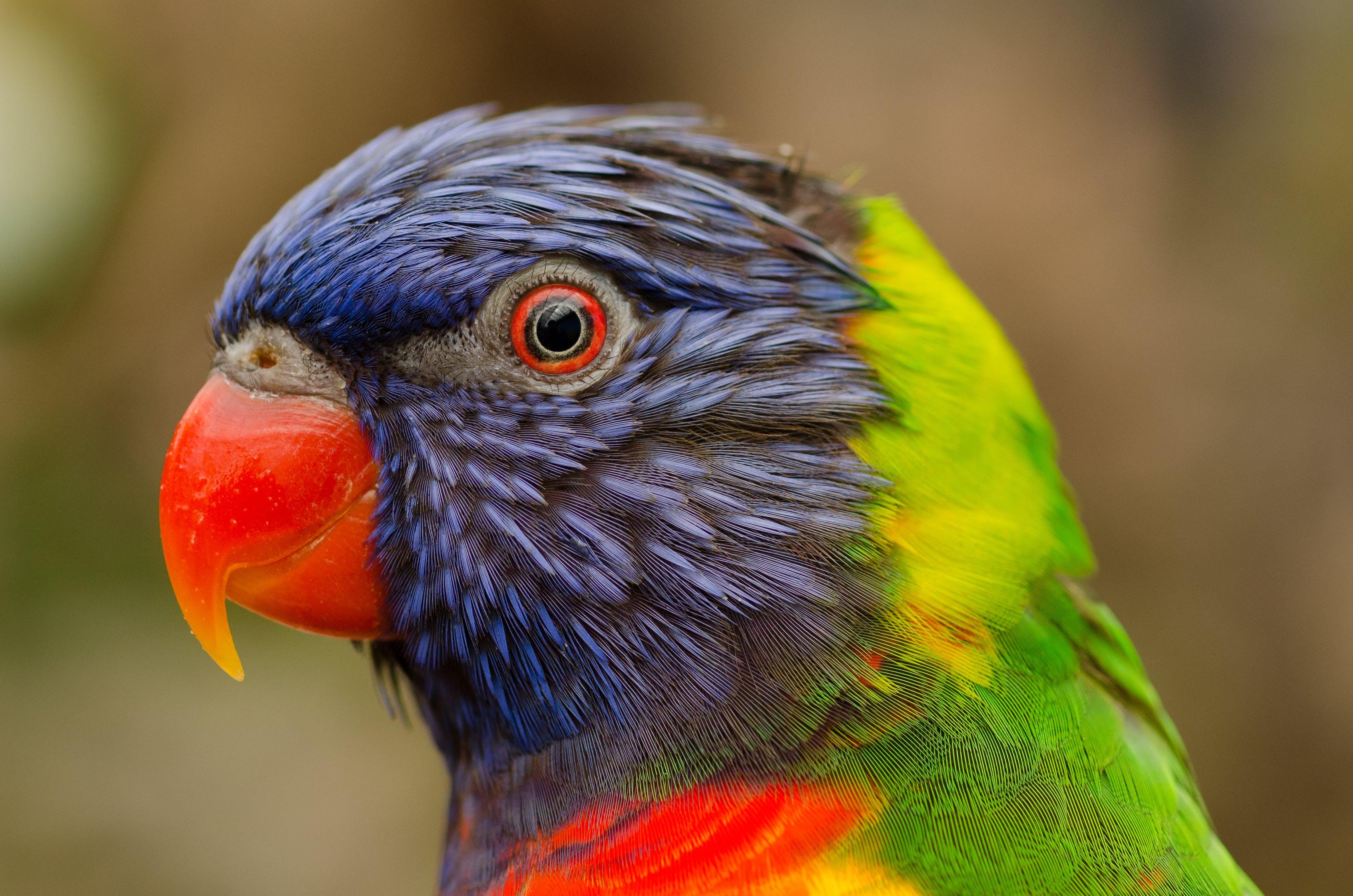 Close-up Photography of Rainbow Lorikeet