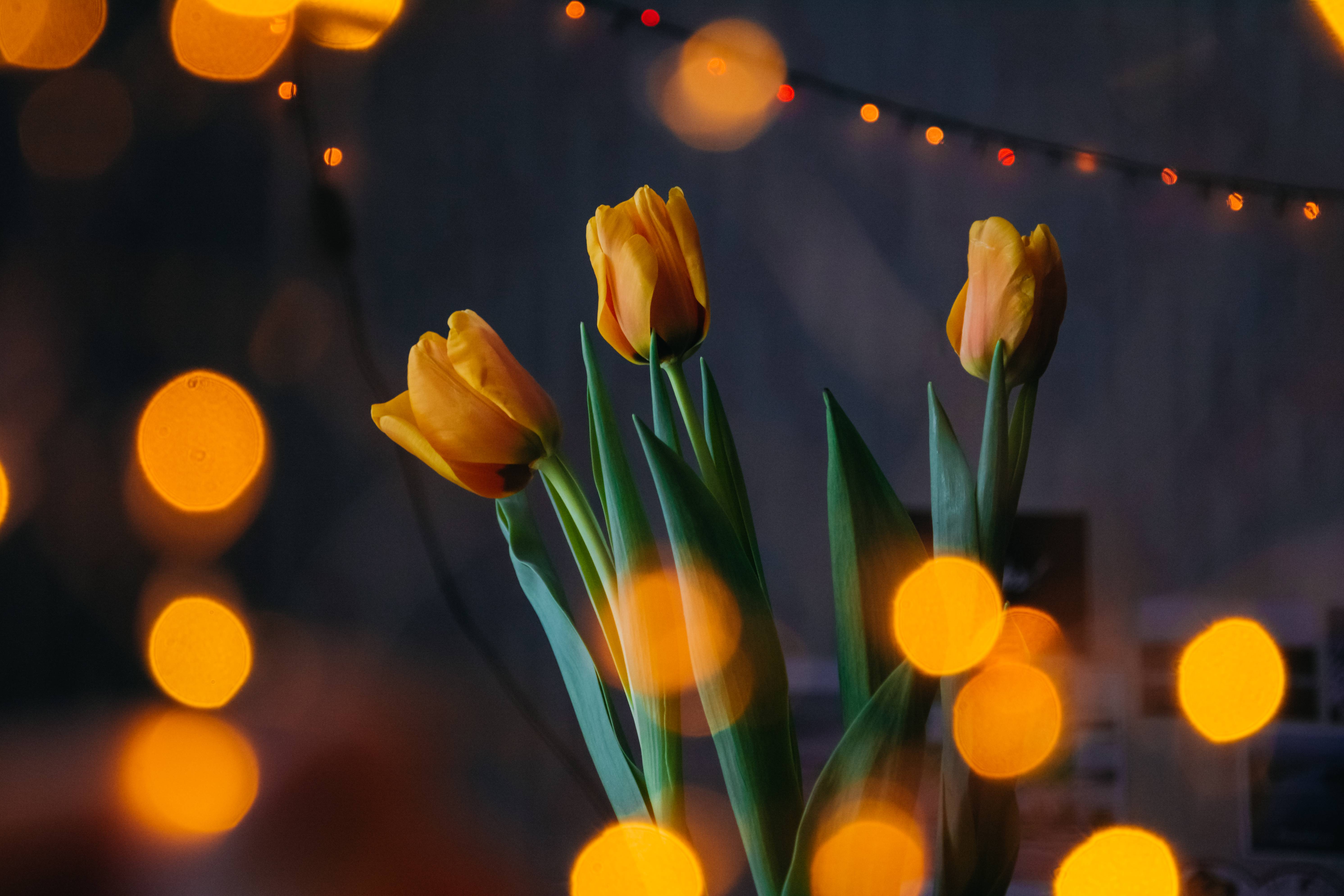 Orange Tulips With Bokeh Lights