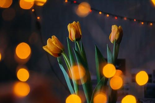 Pomarańczowe Tulipany Z Bokeh Lights