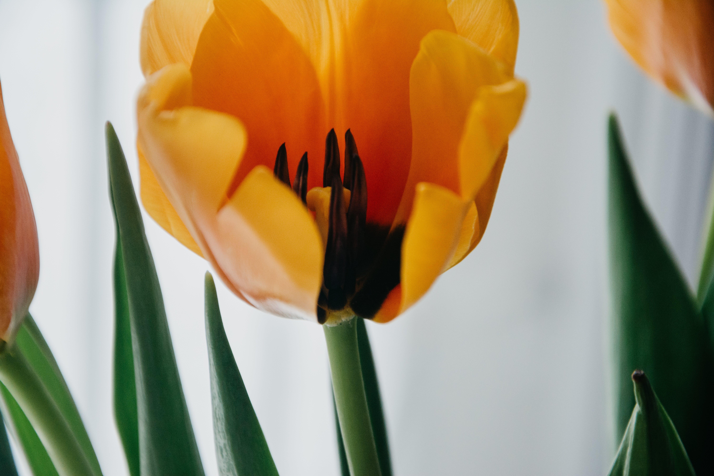 bitki örtüsü, büyüme, Çiçekler, laleler içeren Ücretsiz stok fotoğraf