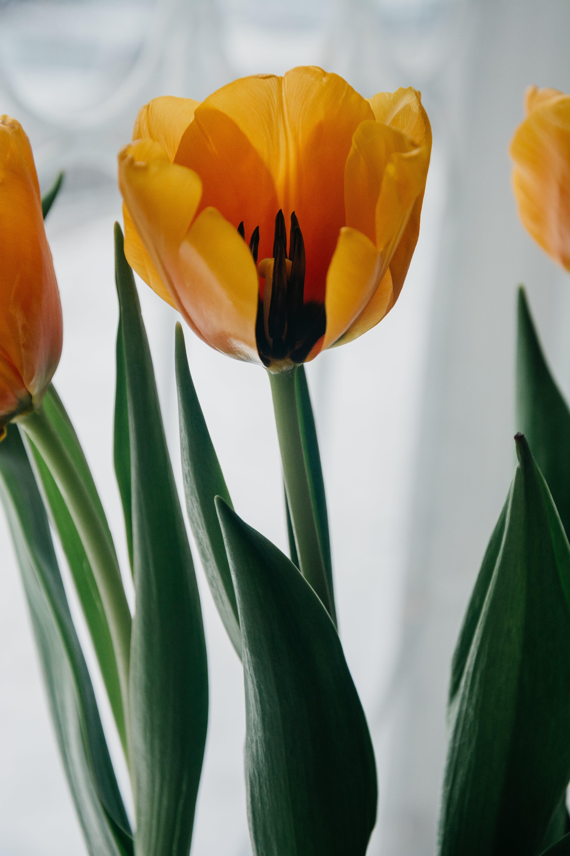 Yellow Tulip Closeup Photo