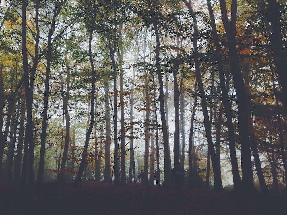 árvores, enevoado, floresta