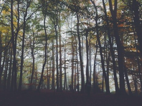 Foggy Forest Trees