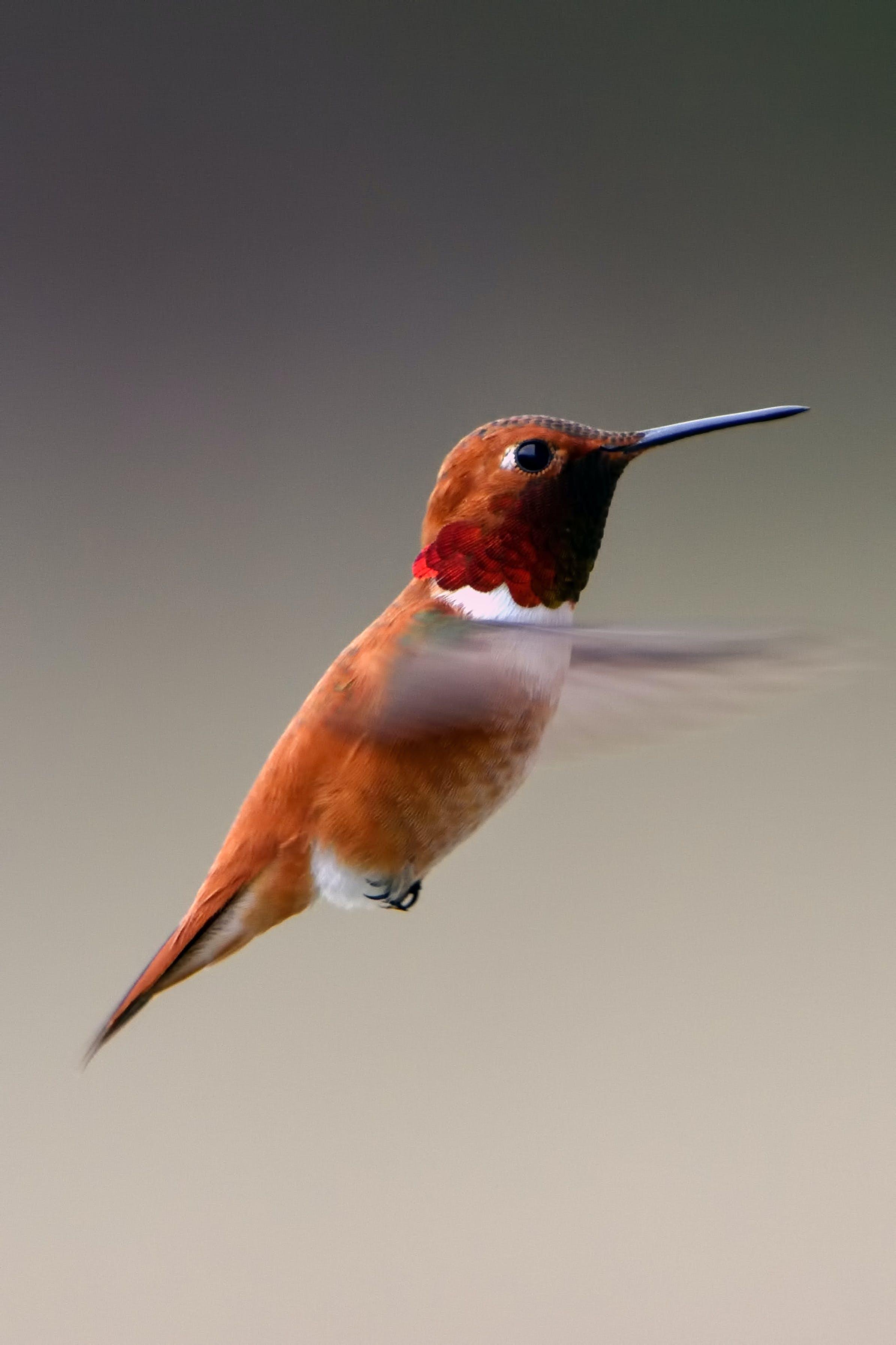 Closeup Photography of Humming Bird