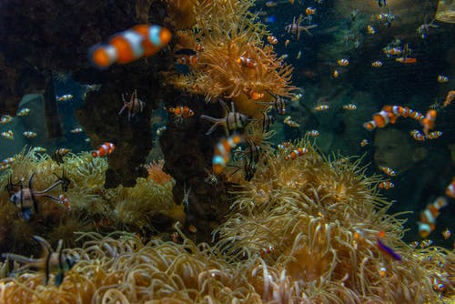 Close-Up Photo of Clownfish Near a Coral Reef