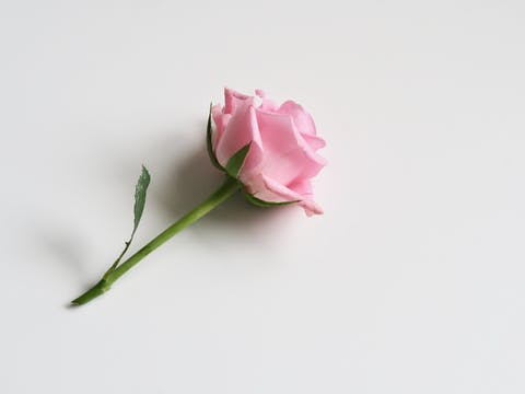 From above of delicate light pink rose flower on white background in soft daylight