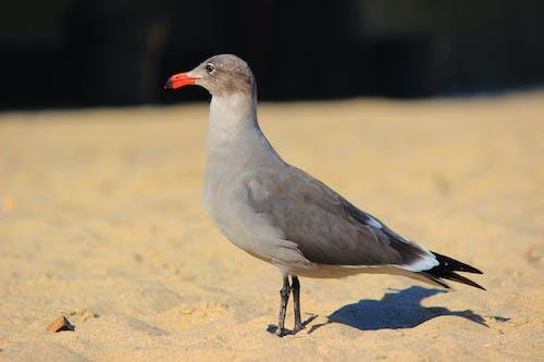 Free stock photo of beach, seagull