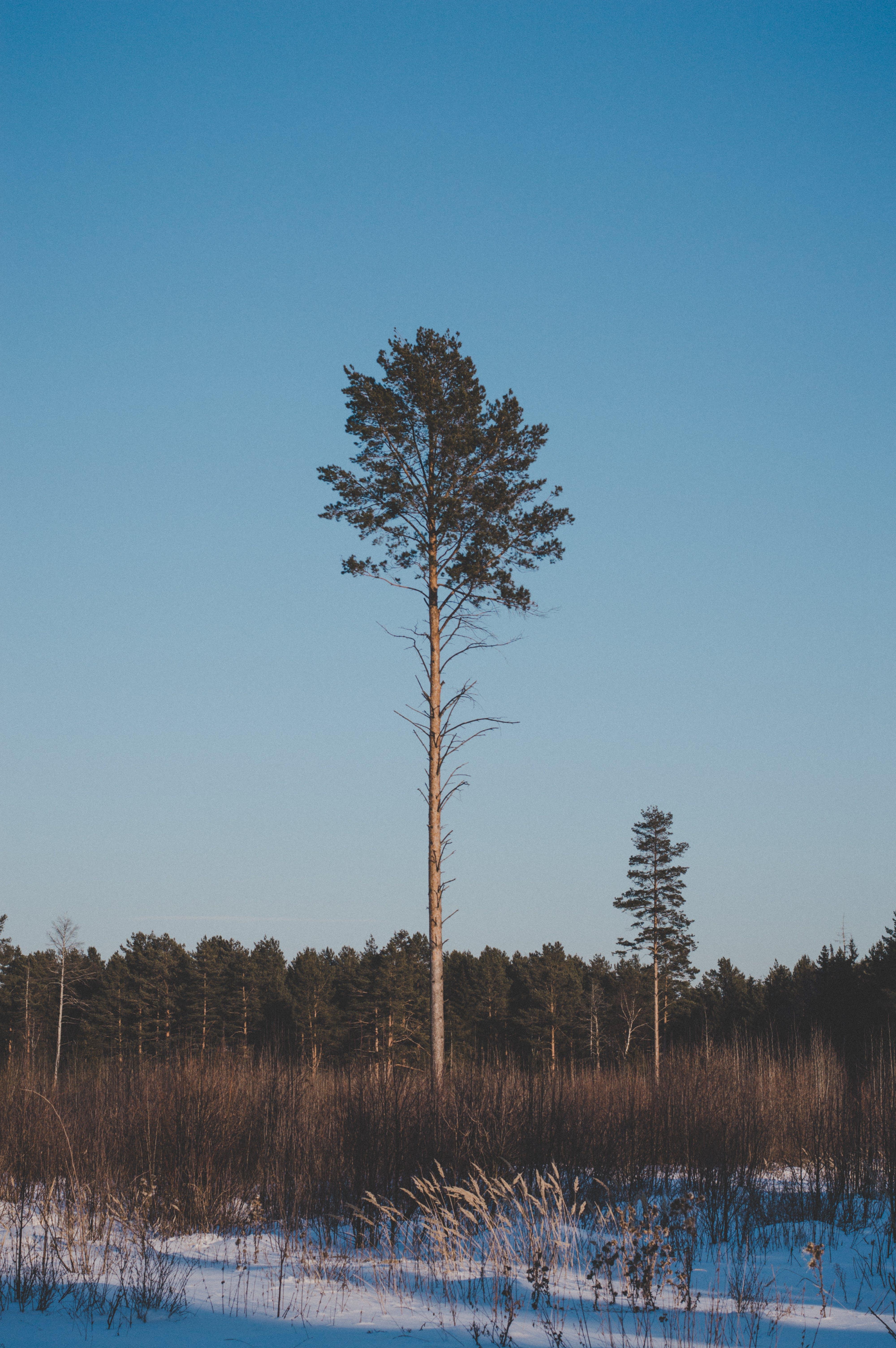 Fotos de stock gratuitas de arboles, blanco, bosque, cielo azul