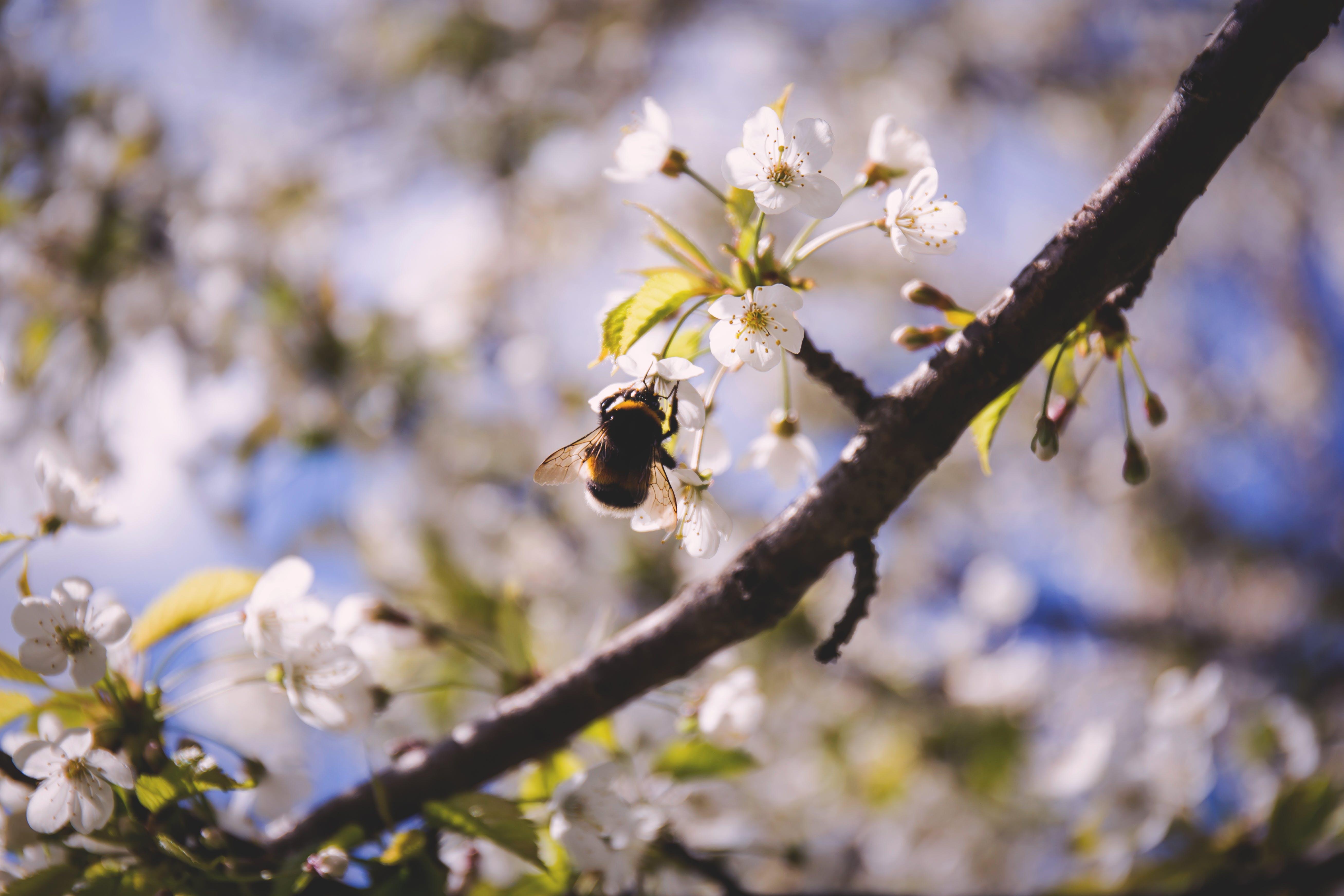 Foto d'estoc gratuïta de abella, branquilló, insecte, natura