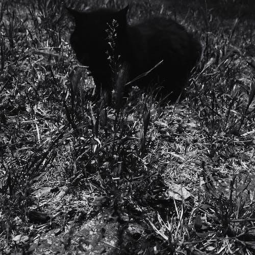 Immagine gratuita di gatto, gatto nero