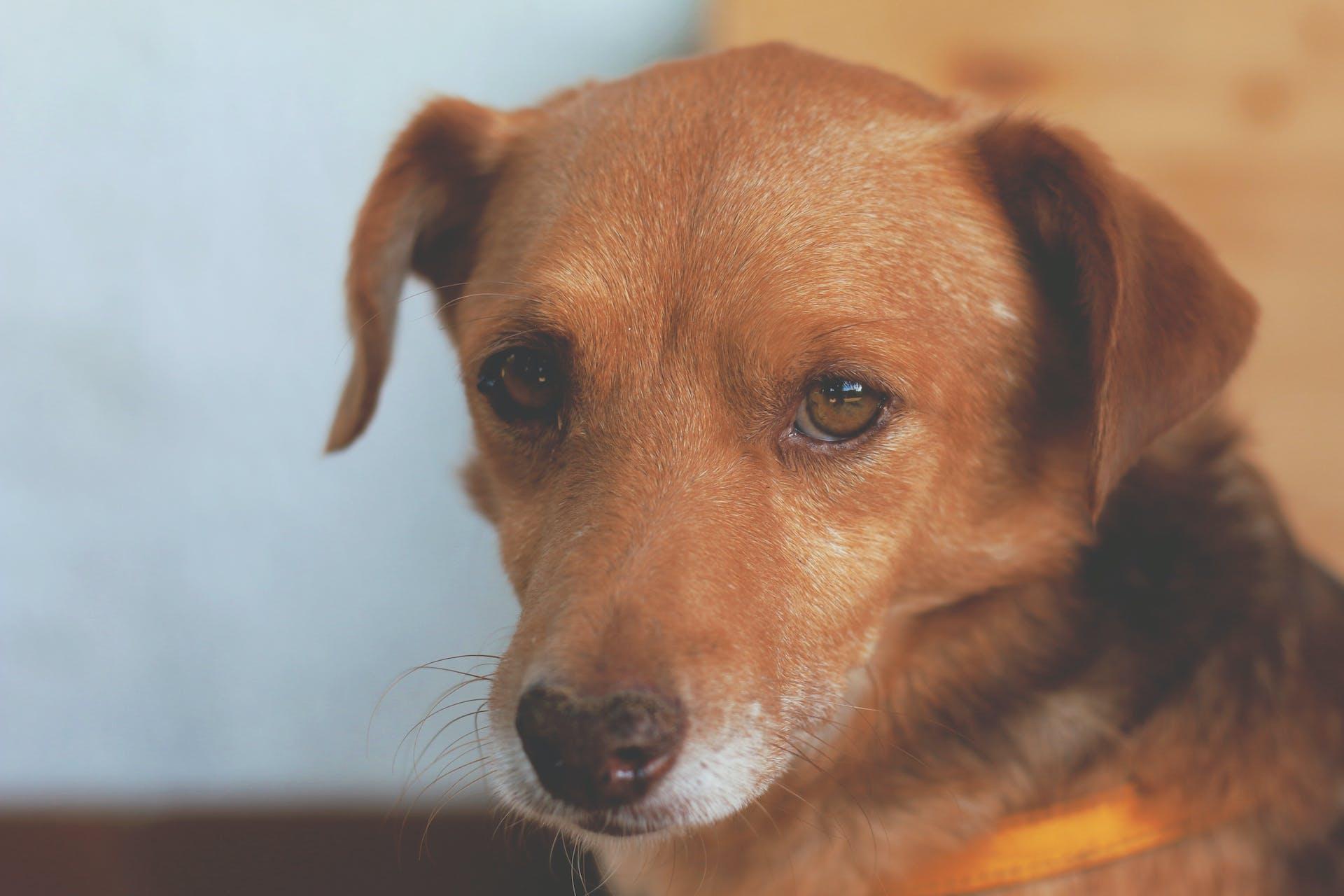 Brown and Black Short Coat Dog