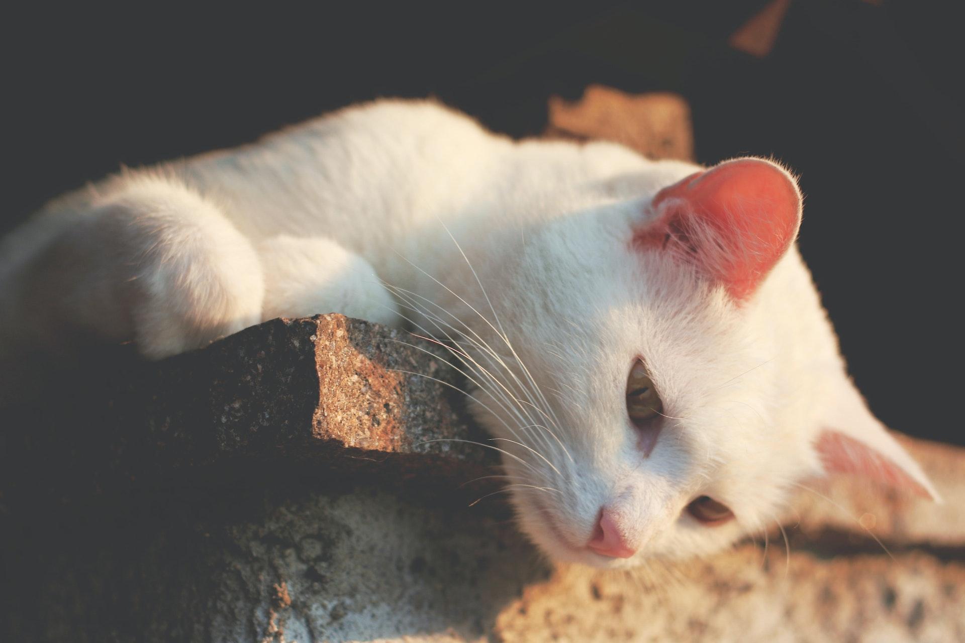 ¿Por qué ronronean los gatos? - descubriendo el misterio