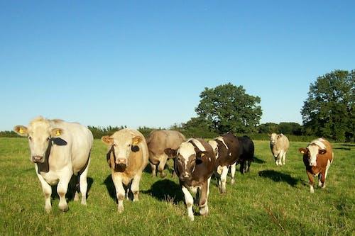 Δωρεάν στοκ φωτογραφιών με βόδια, ζωικά, ταύροι