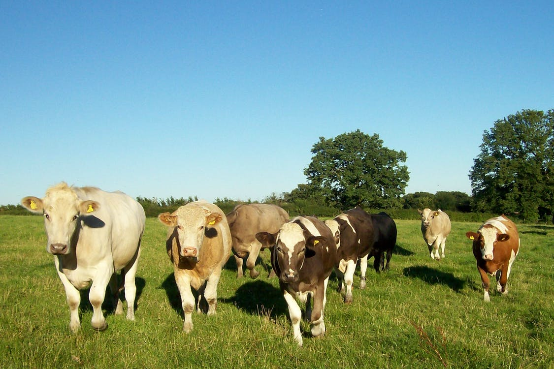 Free stock photo of bulls, cattle, livestock