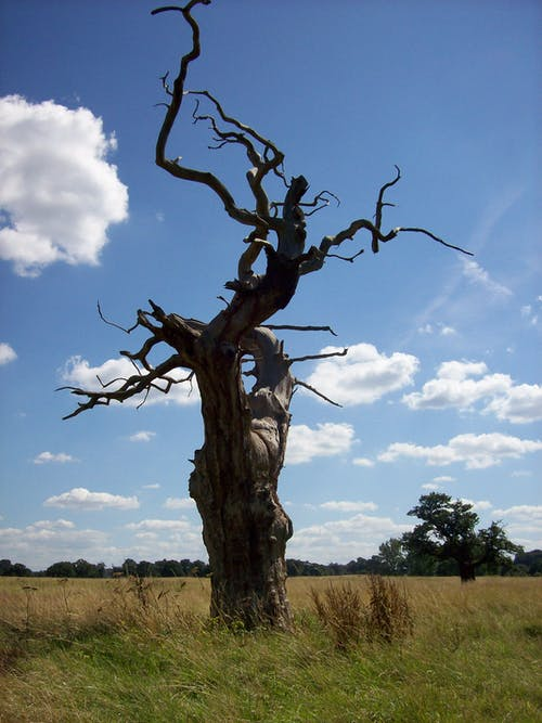 Free stock photo of dead tree, tree