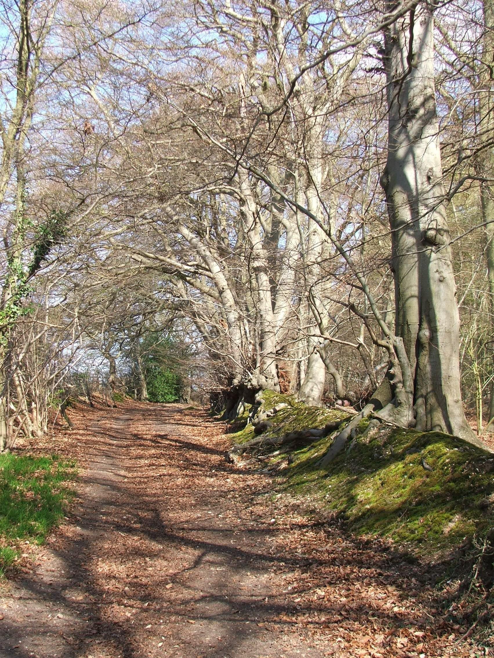 Free stock photo of beeches, burnham beeches, path, spring