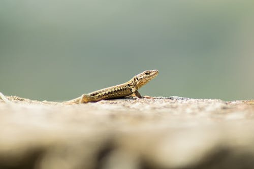 Close-Up Shot of a Lizard on a Rock