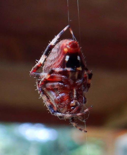 クモ, クモの巣, バグ, ぶら下がっているクモの無料の写真素材