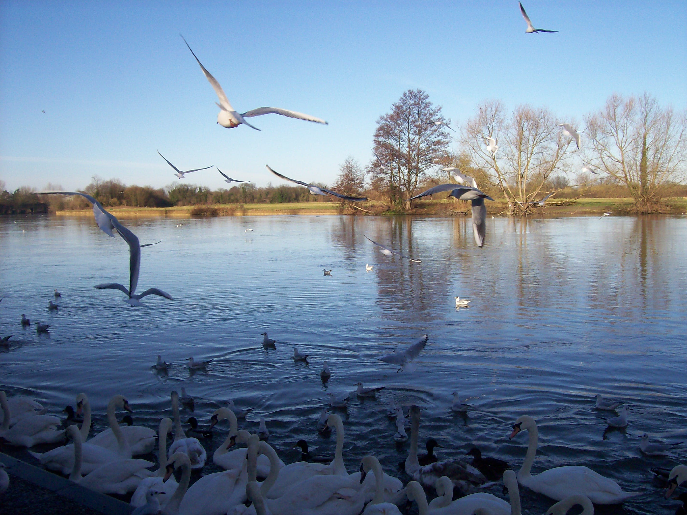 Free stock photo of seaguls, thames