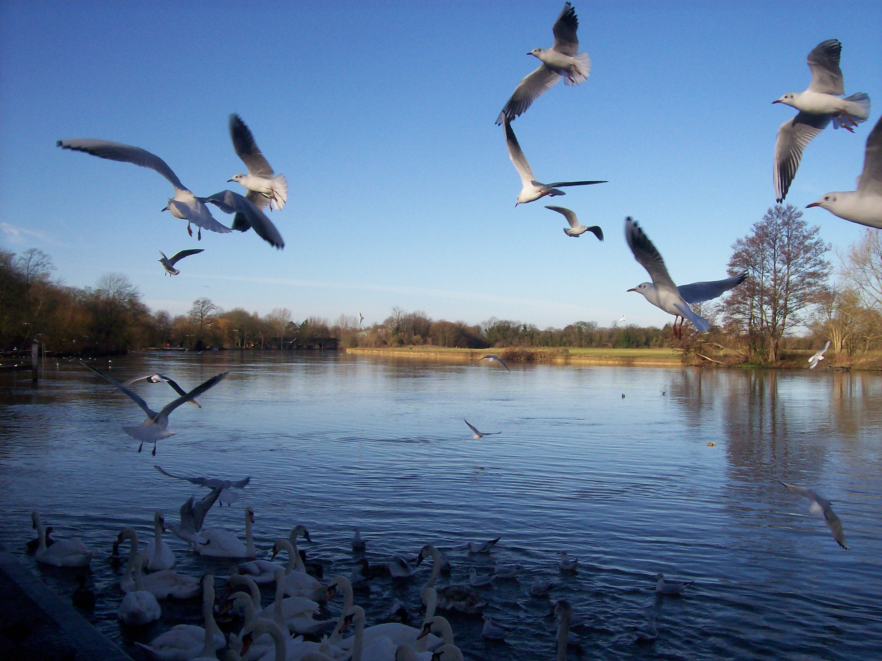 Free stock photo of river, seaguls, spring, thames