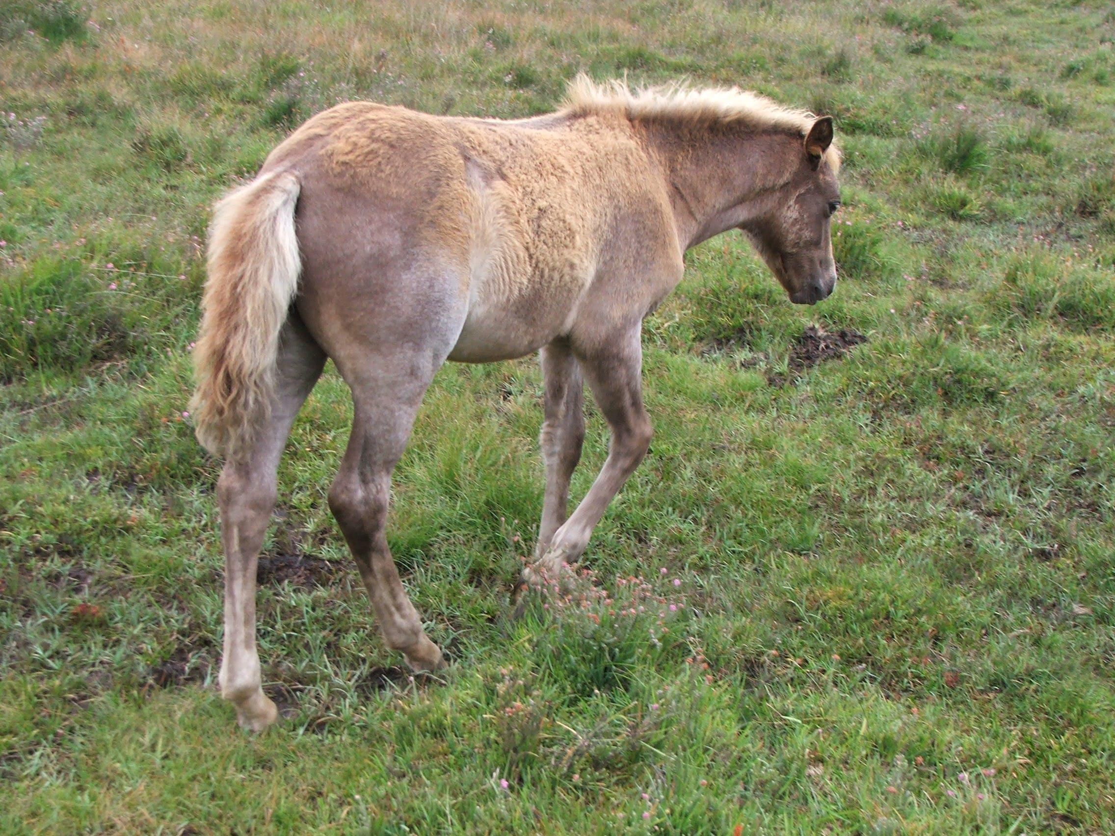 Free stock photo of Foal, new forest pony, pony