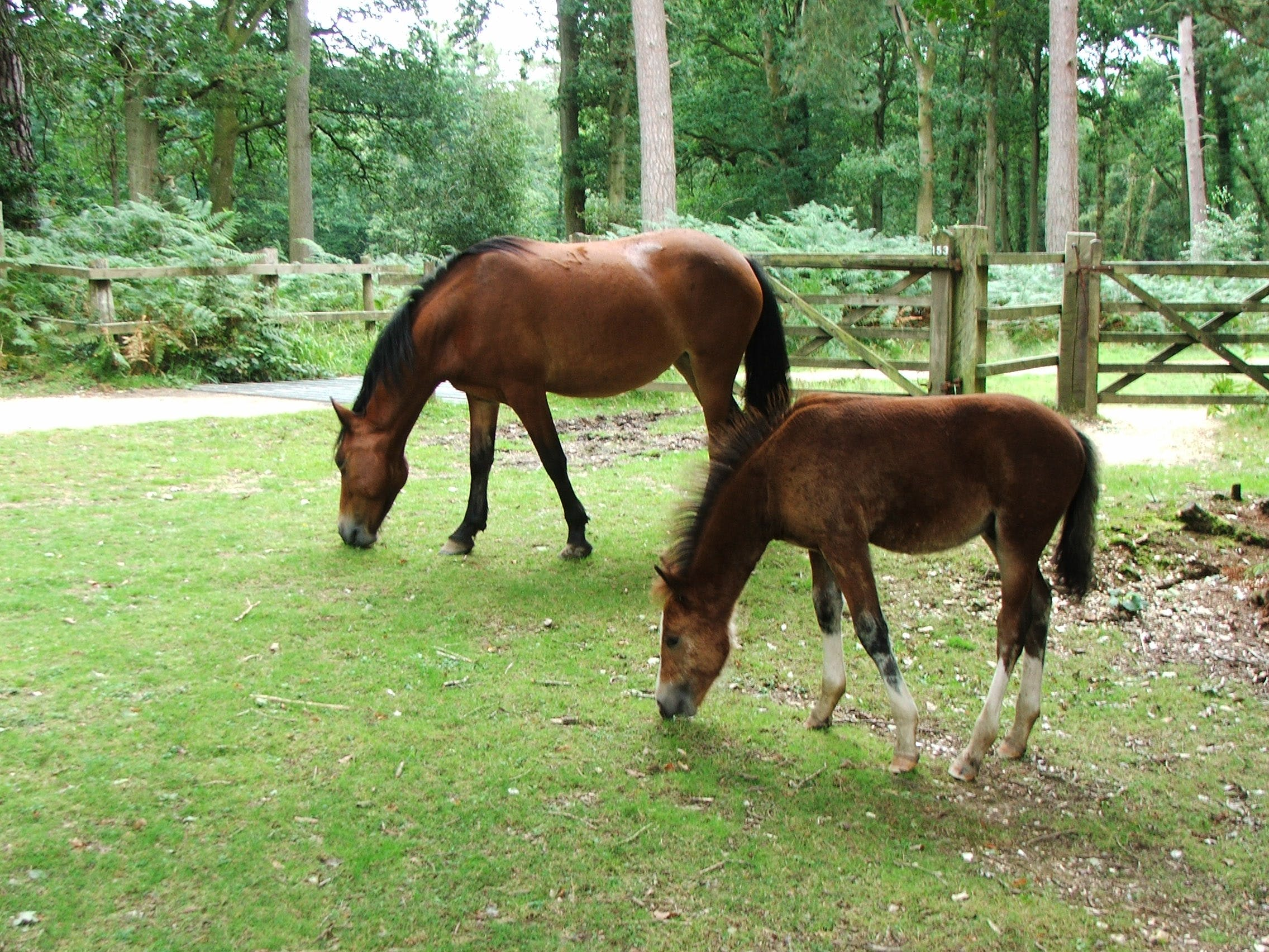 mare and foal, new forest pony