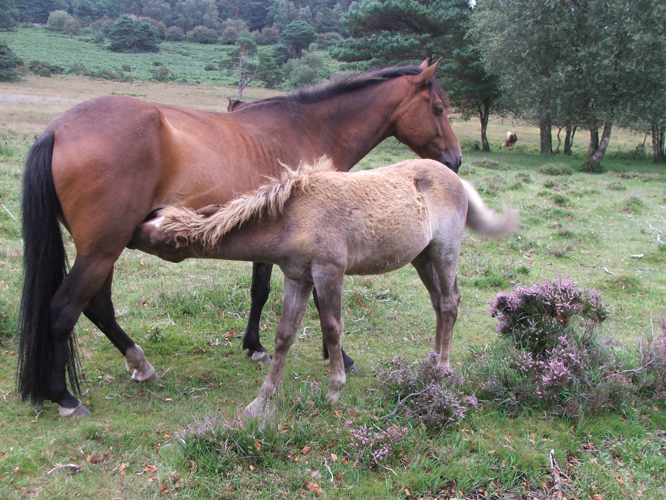 Free stock photo of mare and foal, new forest pony, pony