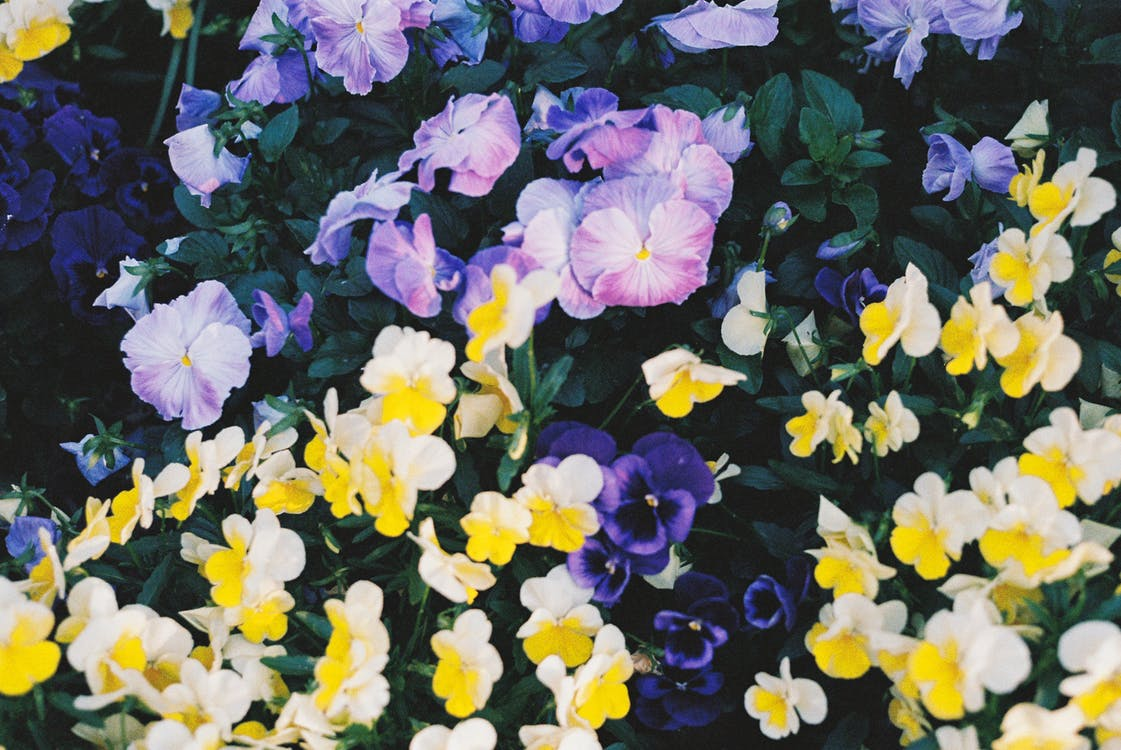 Yellow and Purple Flowers With Green Leaves