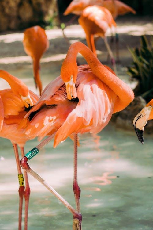 คลังภาพถ่ายฟรี ของ คอยาว, นก, ฟลามิงโก้