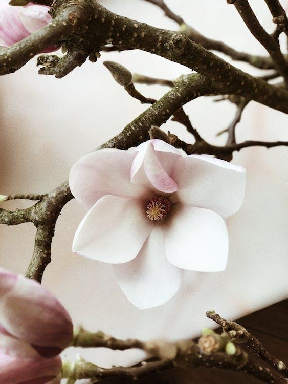 arbre, bois, bourgeons de fleurs