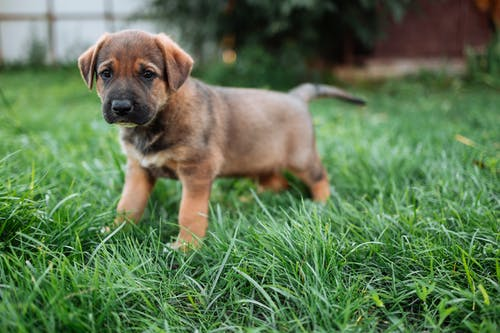 Brown and Black Short Coated Puppy Running on Green Grass Field