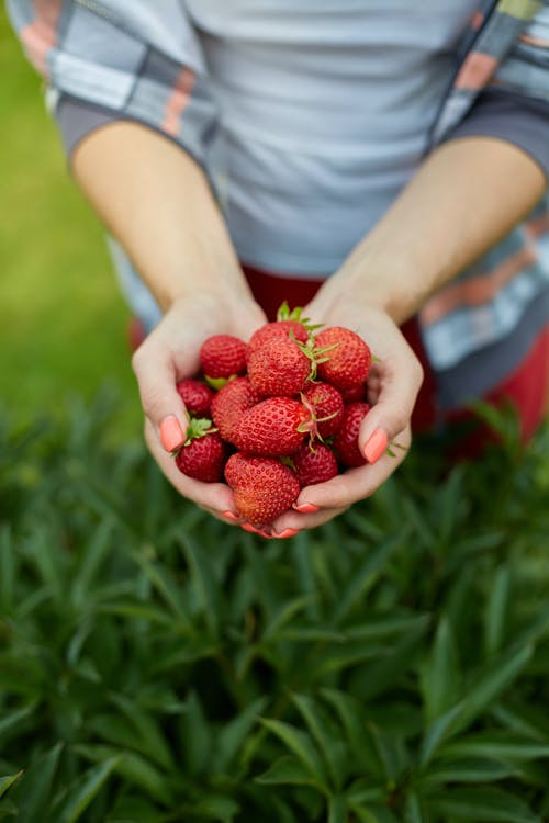Person Holding Red Strawberries with Two Hands