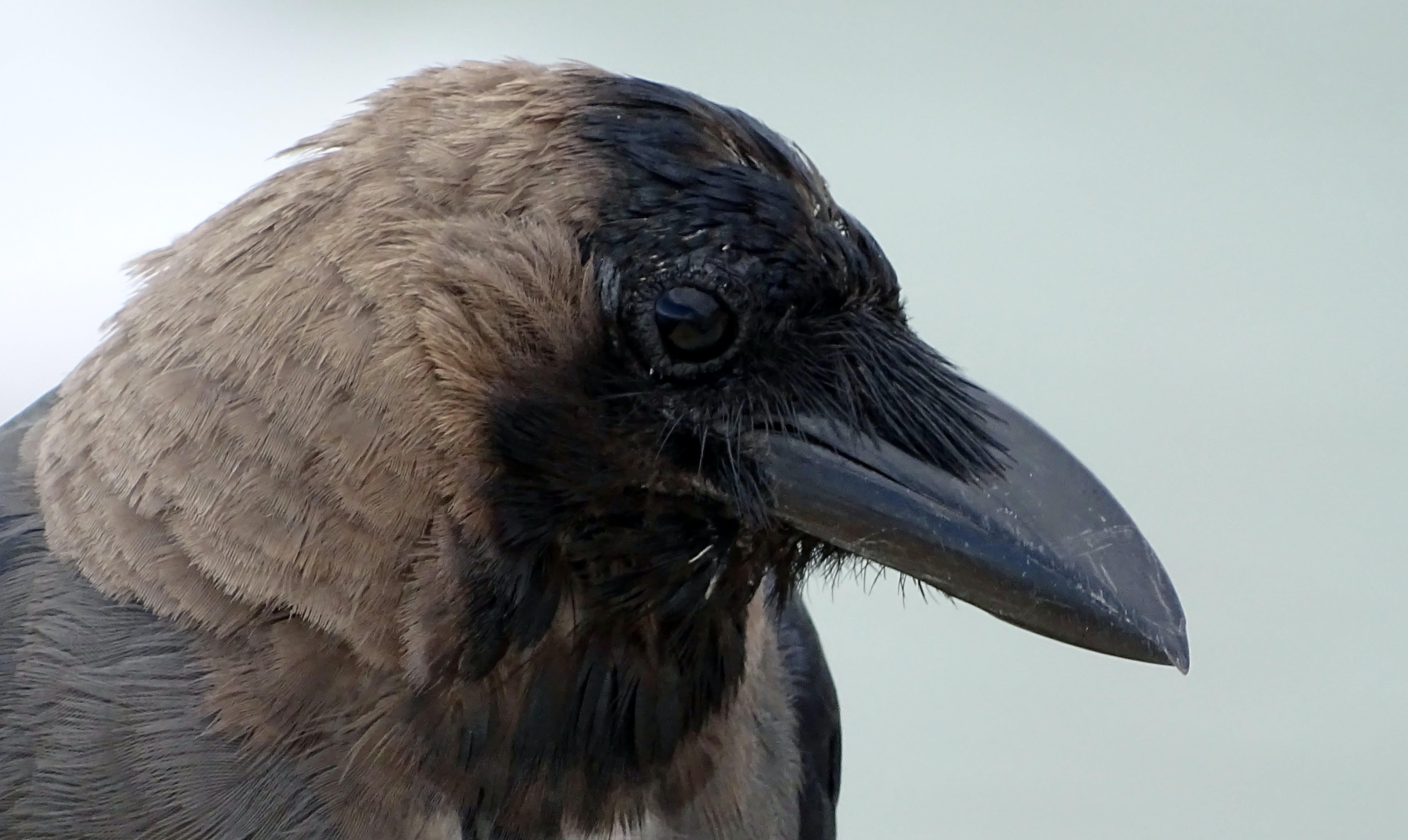 Free stock photo of black, blurred, crow, eyes