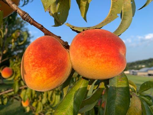 Free stock photo of fruit, fruit tree, peach