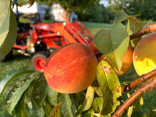 Free stock photo of peach