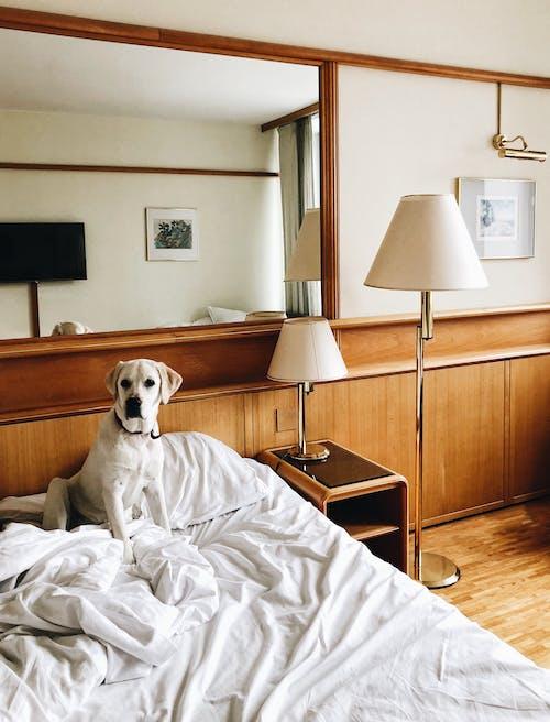 Kostnadsfri bild av bekvämlighet, förtjusande, hund-