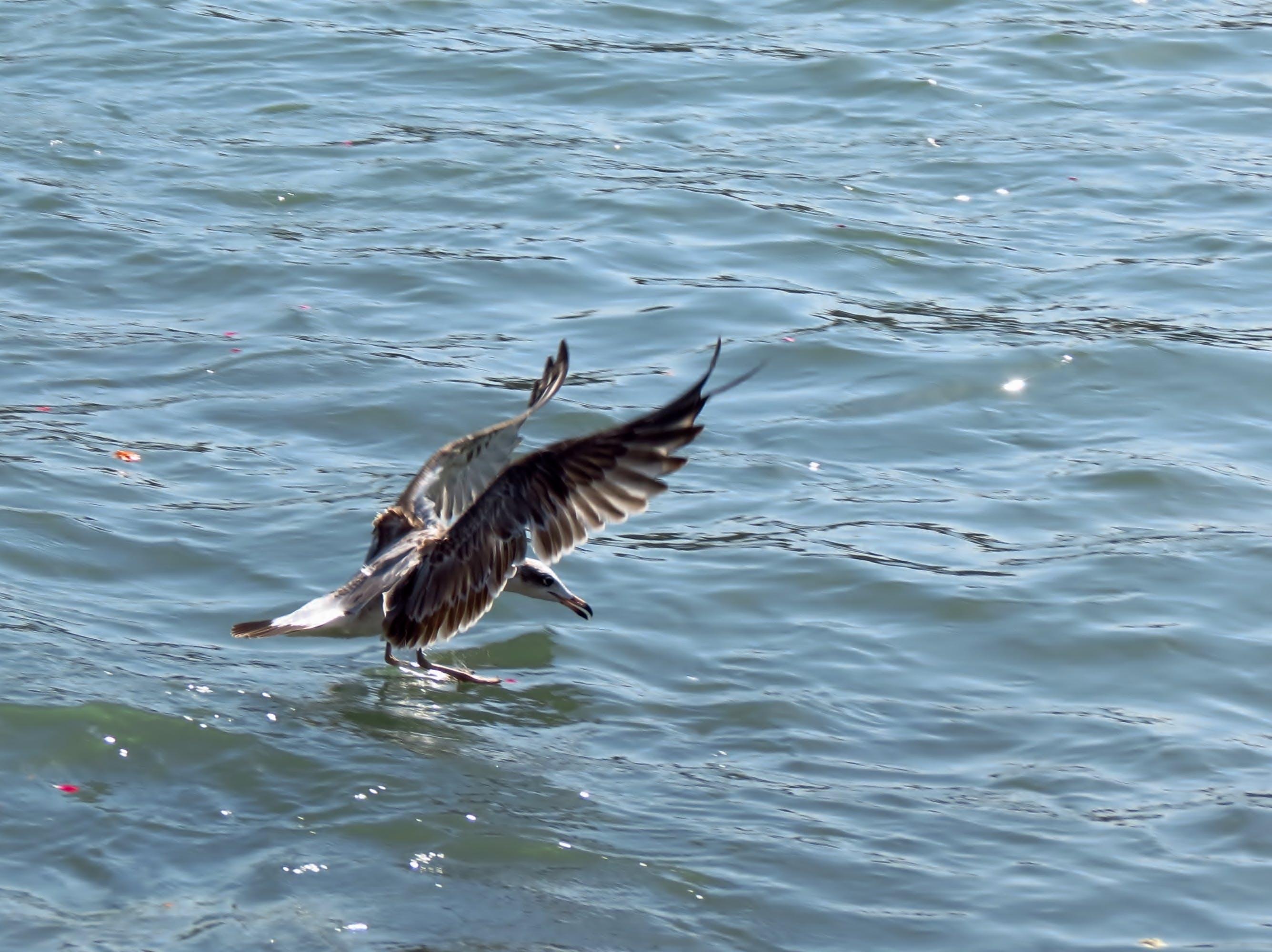 Foto profissional grátis de ave, gaivota, gaivota de pallas ou grande gaivota de cabeça preta, grande gaivota de cabeça negra