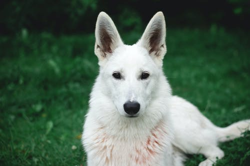 Photo of White German Shepherd