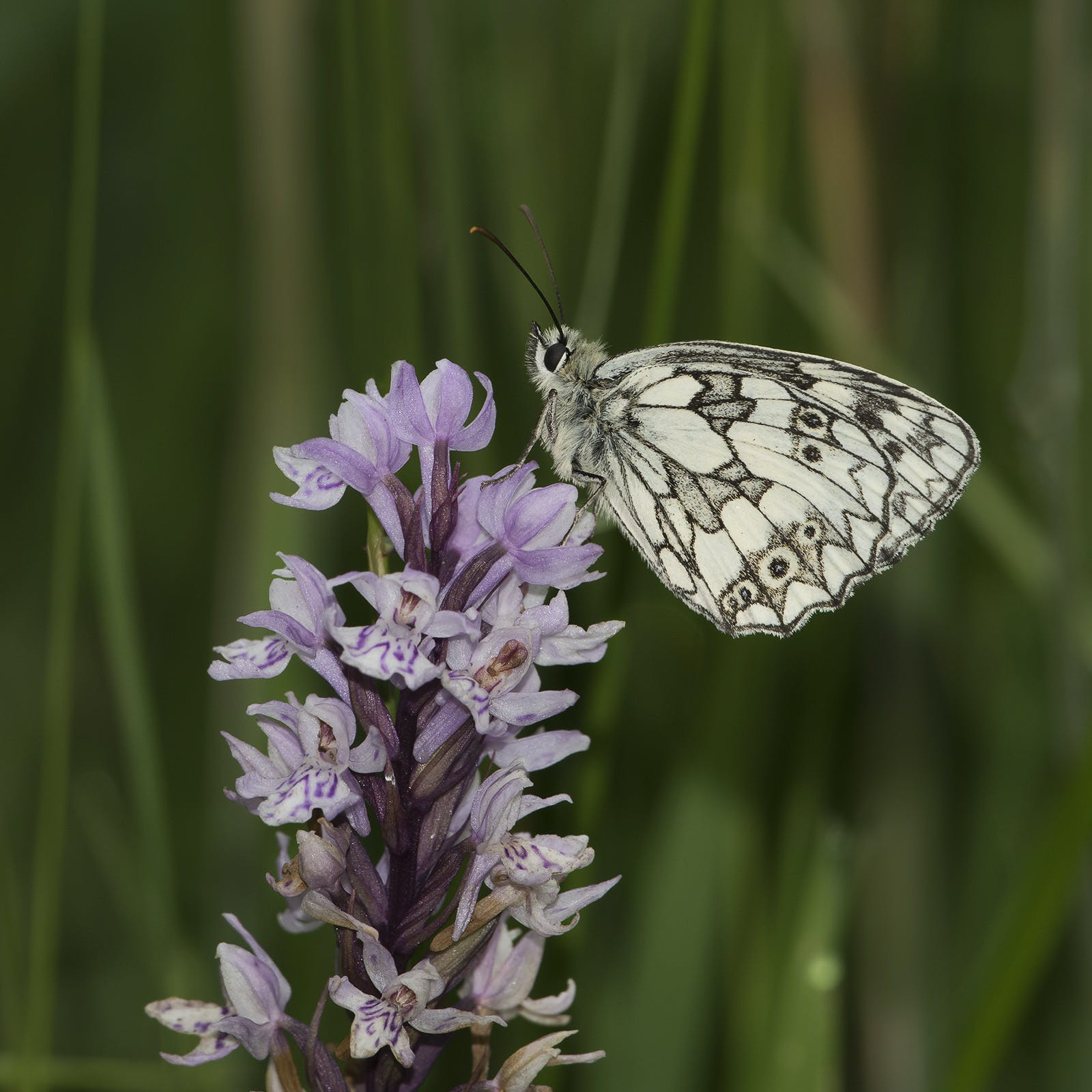 Free stock photo of butterfly, marbled, orchid