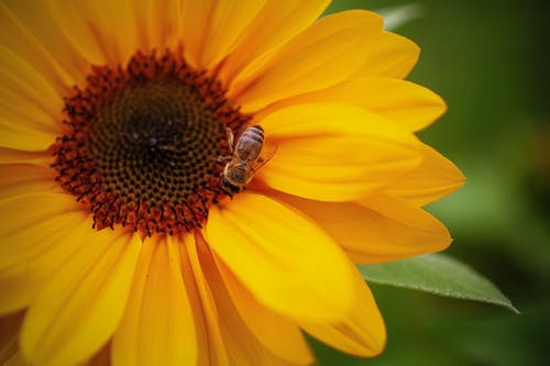 Yellow Sunflower With Bee on Top