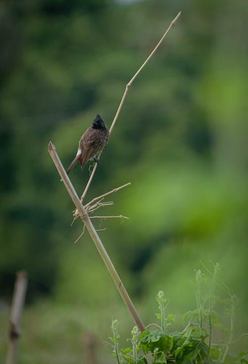 Free stock photo of bird, bird eye, bulbul