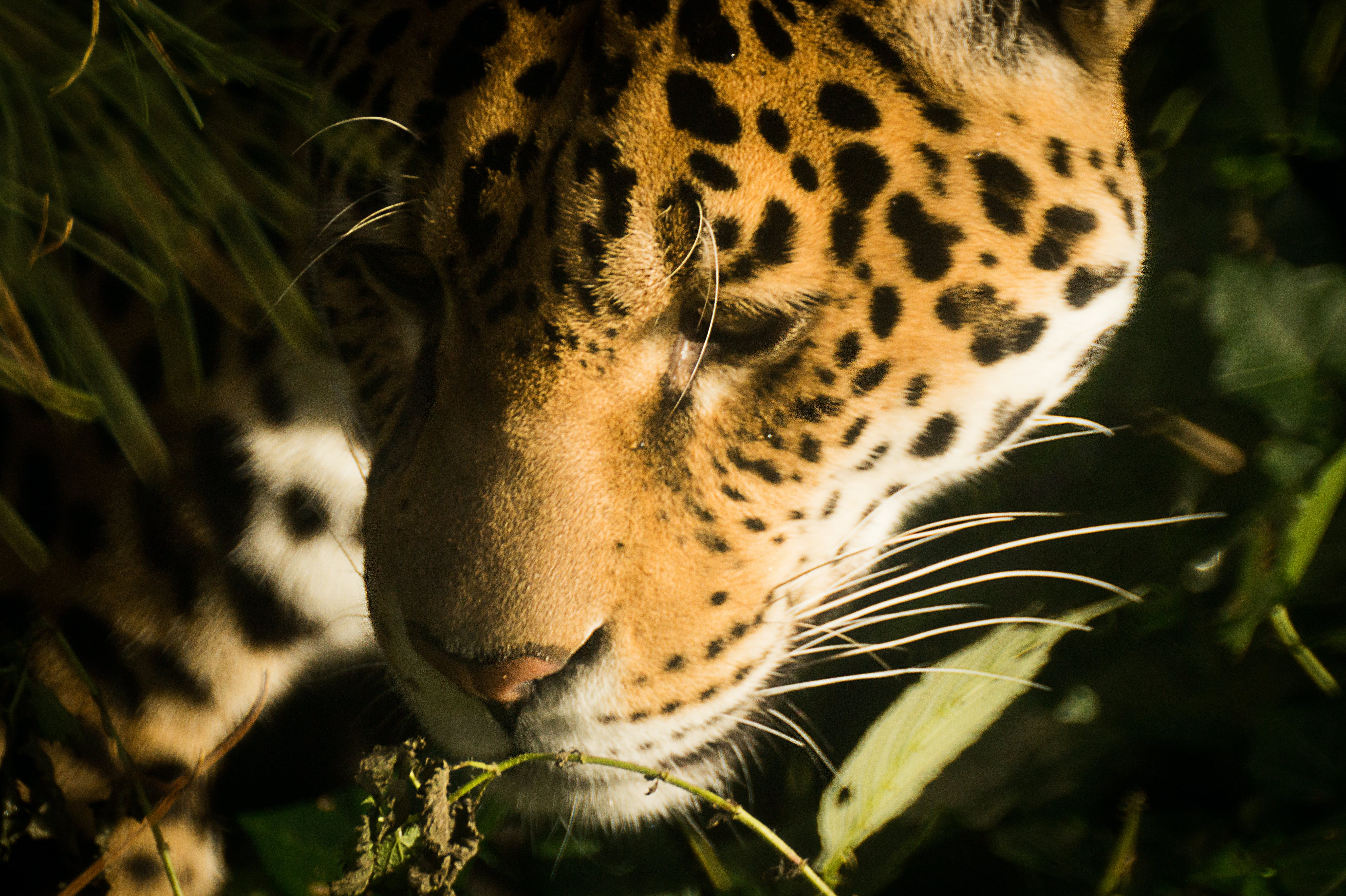 Close-up Photography of Yellow and Black Leopard