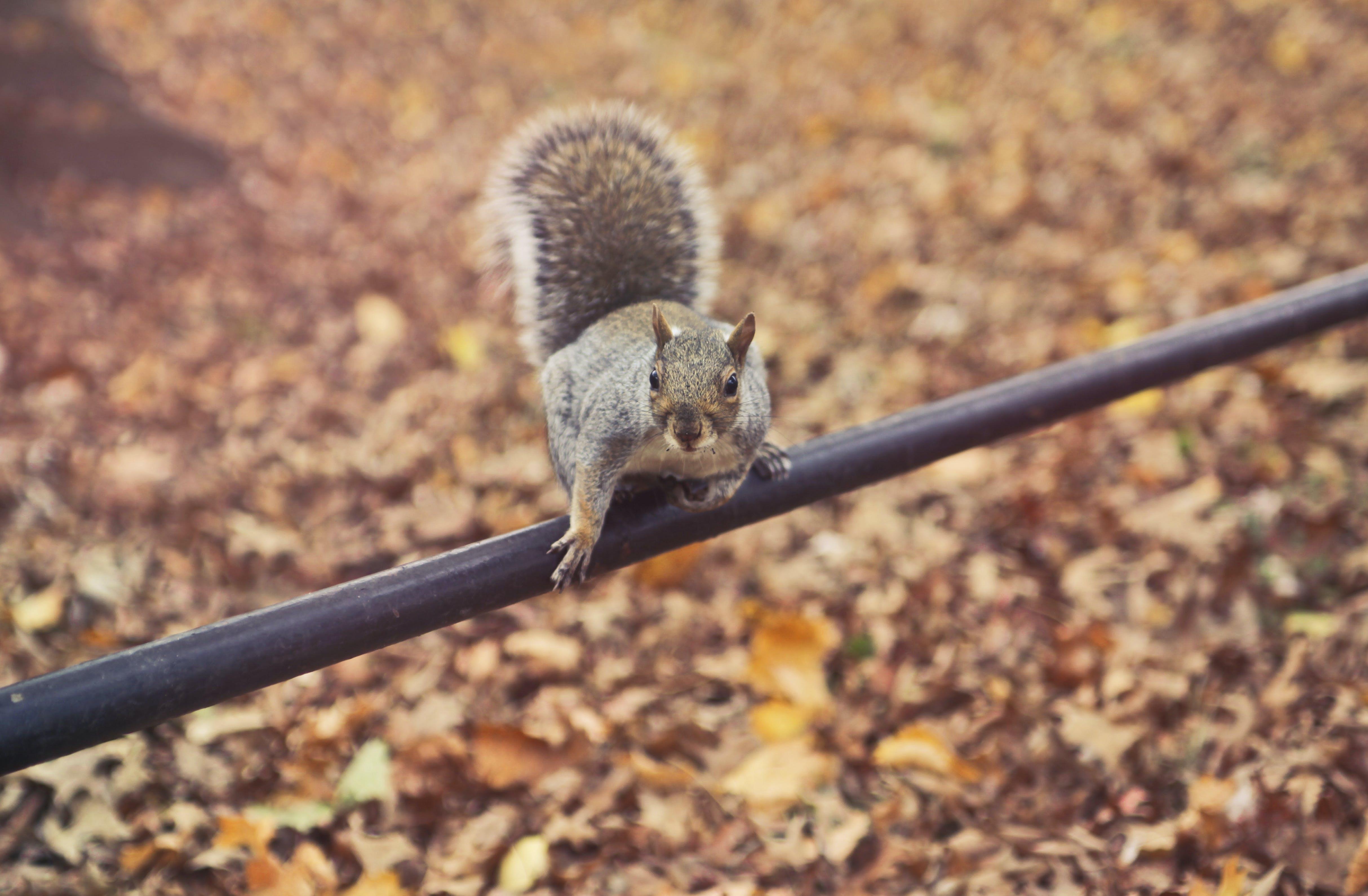 boden, eichhörnchen, fokus