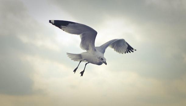 Ring-billed Gull Flying at Daytime