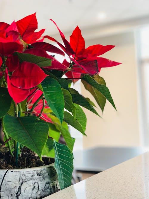 Free stock photo of flower, green leaves, red flower