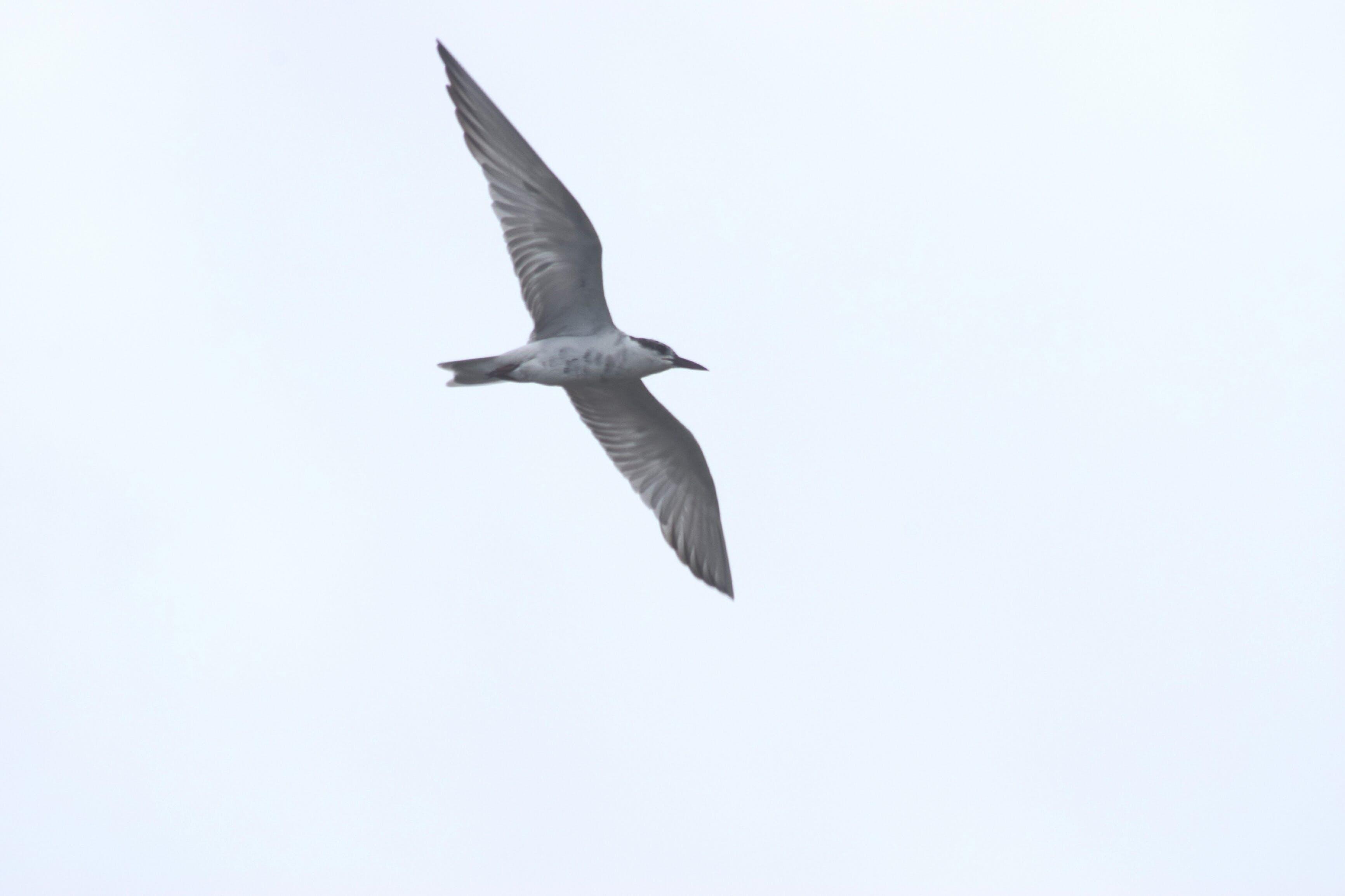 Gratis lagerfoto af dyr, dyrefotografering, flyve, fugl flyver